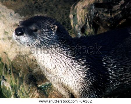 river otter color - stock photo