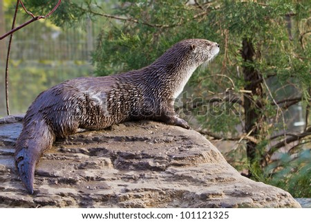 River Otter,  Lontra canadensis,captive - stock photo