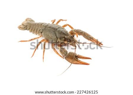 River raw crayfish closeup on white background - stock photo