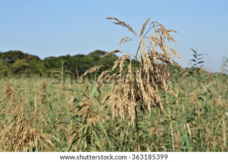 River reeds against a blue sky. Focus on the main reed in the foreground. - stock photo