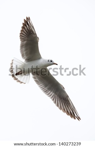 River seagull in flight isolated on a white background