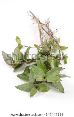 river spiderwort or small-leaf spiderwort. (Tradescantia fluminensis) Herb Hemp Thailand. - stock photo