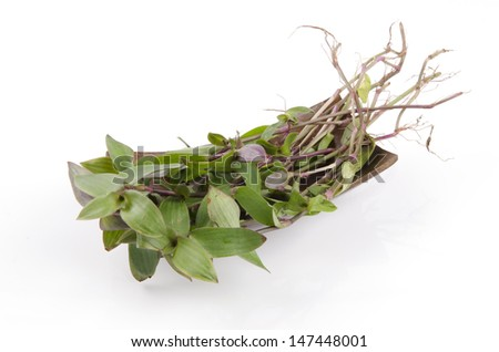 river spiderwort or small-leaf spiderwort. (Tradescantia fluminensis) Herb Hemp Thailand. - stock photo