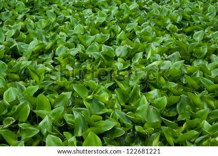 River water hyacinth. - stock photo