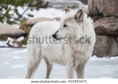 River wolf in snow on yellowstone national park mountain