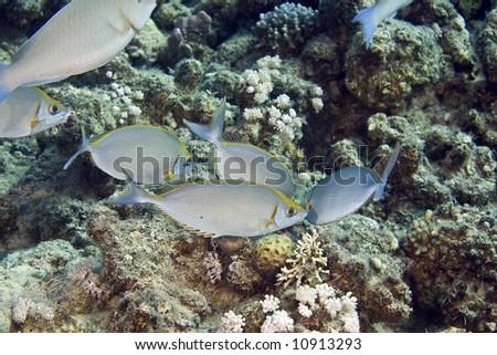 rivulated rabbitfish (siganus rivulatus) - stock photo