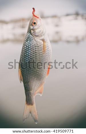 Roach on hook, winter landscape, float fishing, toned image - stock photo