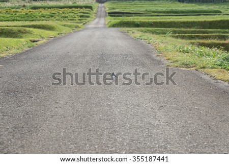 Road bird rice field