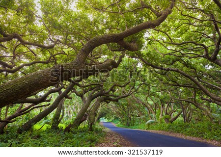 Road covered by tree canopies on Big Island,  Hawaii - stock photo
