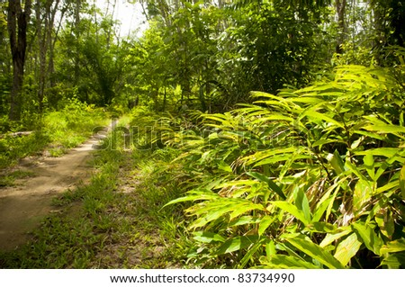 Road in a rubber tree plantation