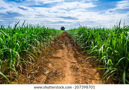 Road in Sugarcane farm and blue sky. - stock photo