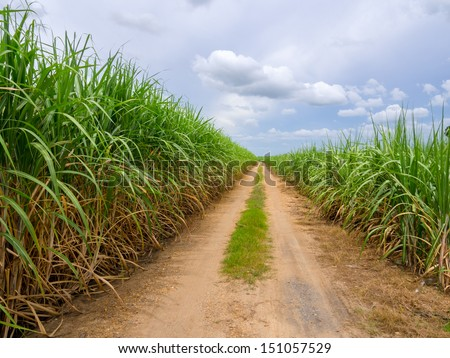 Road in sugarcane field - stock photo