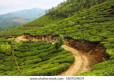 Road running through tea plantation, Munnar, Kerala, India  - stock photo