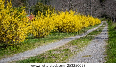 Road surrounded by bright yellow forsythia - stock photo