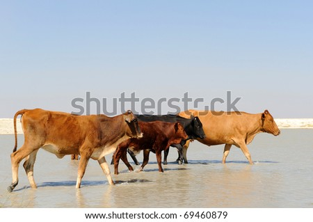 roaming cattle in the kalahari - stock photo