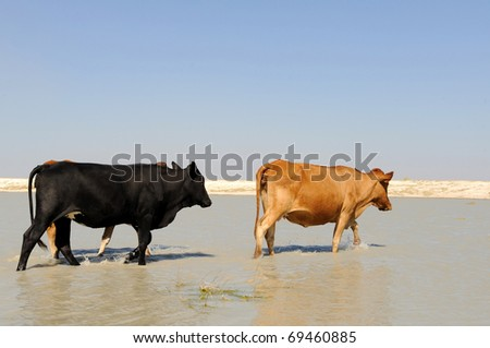 roaming cattle in the kalahari