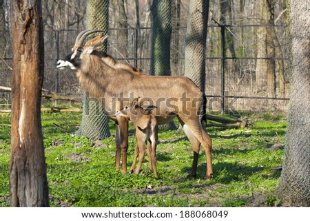 Roan antelope (Hippotragus equinus) mother and calf