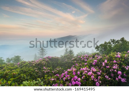 Roan Highlands Southern Appalachian Mountain Natural Catawba Rhododendron Bloom on the State Borders of North Carolina and Tennessee - stock photo