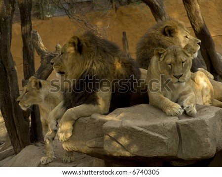 Roar Lion: Big Lion roaring in cage: (fem. lioness) a large tawny-coloured cat of Africa and NW India, of which the male has a shaggy mane. [Panthera leo.]
