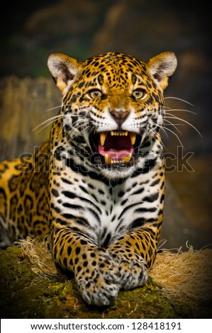Roaring Adult Female Jaguar looking into the camera - stock photo