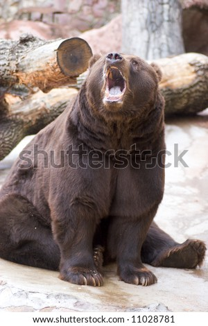 Roaring bear sitting in cold weather outdoors - stock photo