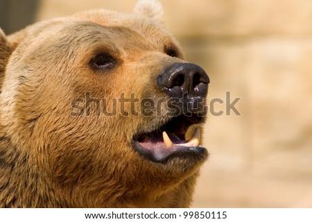 Roaring brown bear closeup - stock photo