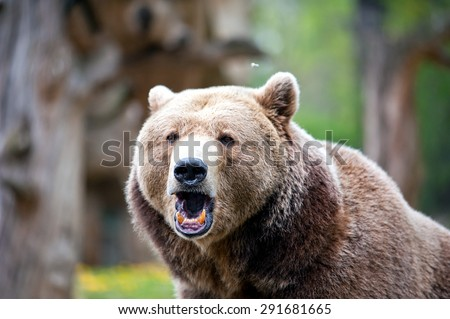 roaring brown bear in forest at summer time