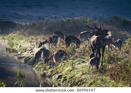 Roaring deer with herd standing near the river on the meadow at sunrise - stock photo