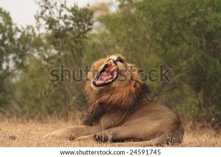 Roaring Lion(Panthera  leo) - stock photo