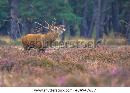 Roaring male Red deer (Cervus elaphus) in field of heathland in National Park Hoge Veluwe, Netherlands