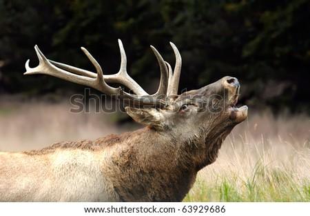 Roaring red deer - stock photo