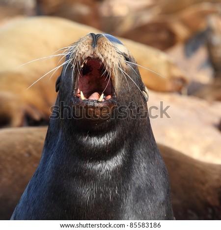 Roaring sea lion - stock photo