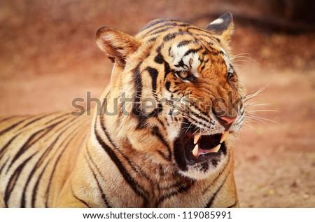 Roaring tiger - stock photo