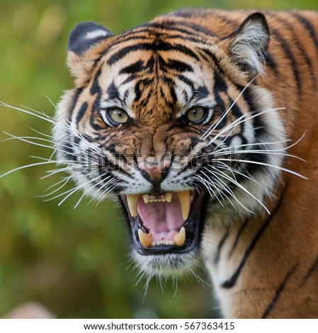 Tiger Face Stock Images, Royalty-Free Images & Vectors ... - photo#38