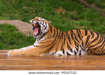 Roaring tiger cub - stock photo