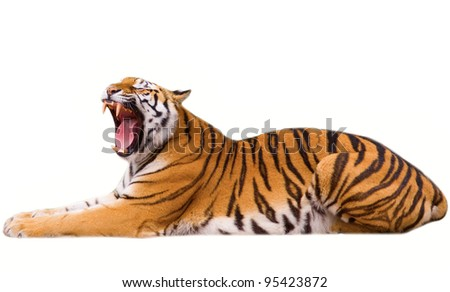 Roaring tiger cub - isolated on white background - stock photo