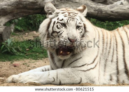 roaring white tiger in Guangzhou, endangered animal in China - stock photo