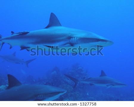 Roatan, Honduras sharks on reef - stock photo