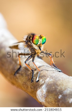 Robber fly (Asilidae family) with beautiful colored eyes in the Tsingy de Bemaraha Strict Nature Reserve in Madagascar - stock photo