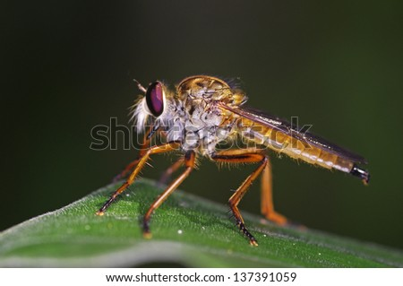 robber fly is staying on the green leaf