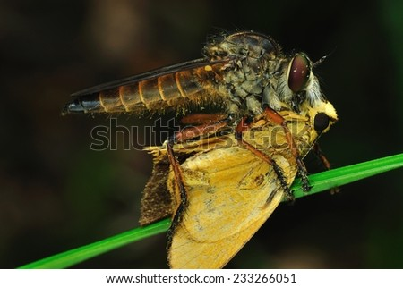robber-fly with prey
