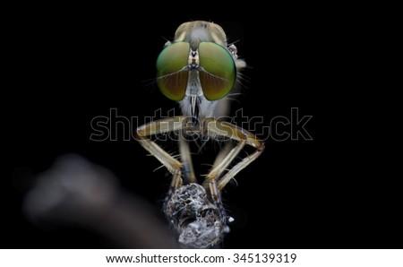 robberfly - stock photo