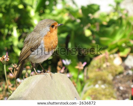 Robin - stock photo