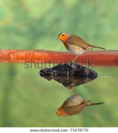 Robin. - stock photo