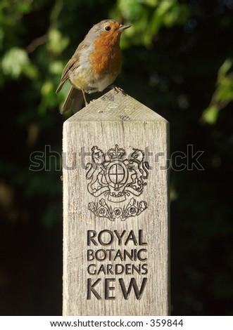 Robin at Kew - stock photo