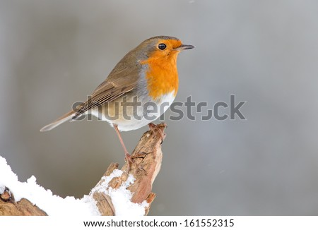 Robin bird in a winter setting