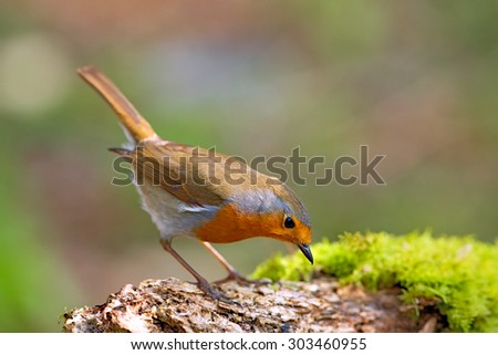 Robin bird on a branch