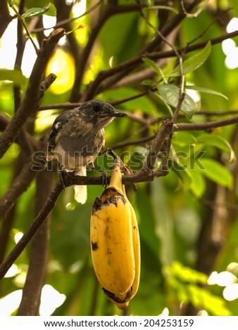 robin bird with banana on a branch - stock photo