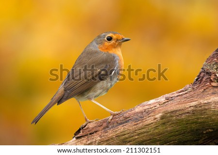 Robin close up on autumn background - stock photo