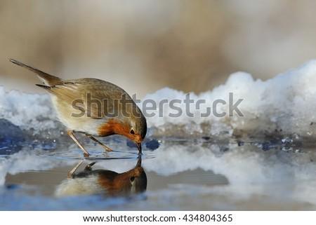 Robin drinking - stock photo